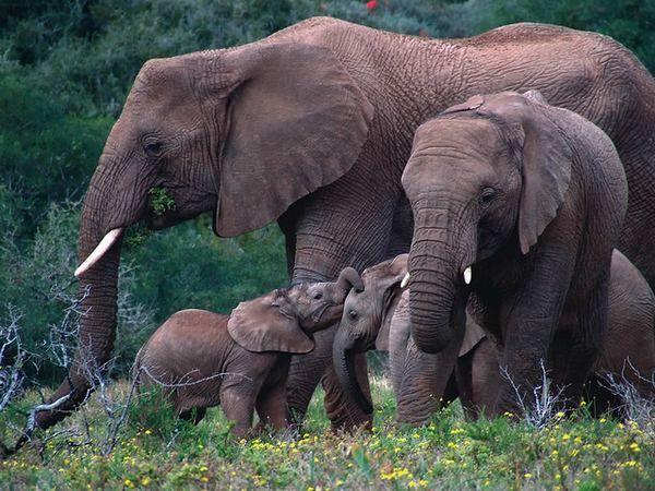 Moderní sloni z myší odděluje vzdálenost 24 milionů generací.