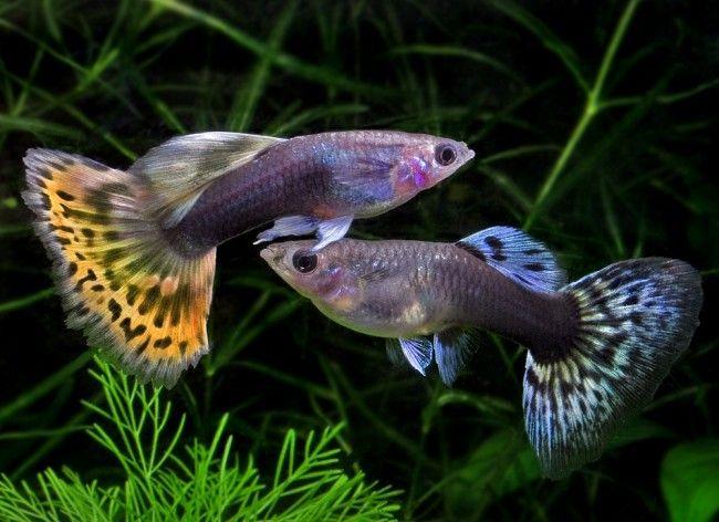 Гуппи совместимость с другими рыбами