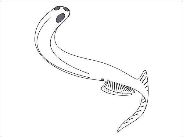 Euphanerops, rekonstrukcija