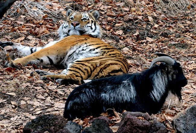 Safari park u kojem žive i Timur Amur je postao jedan od najboljih na svijetu.