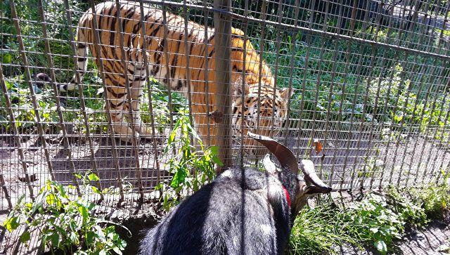 Ranije prijatelji živjeli u jednom kavezu, a sada su naselili. I sve kriv - koza opsesija.