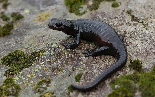 Alpine škvrnitý (Salamandra atra).