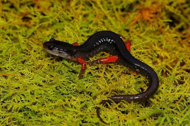 Červeno-škvrnitý (Plethodon Sherman).