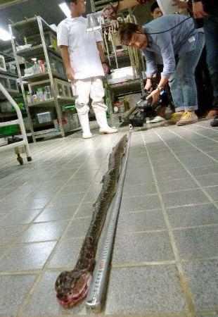 Самая длинная в мире ядовитая змея хабу