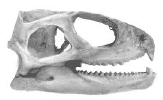 Самая древняя рептилия - это трехглазая ящерица гаттерия, или туатара (sphenodon punctatus)