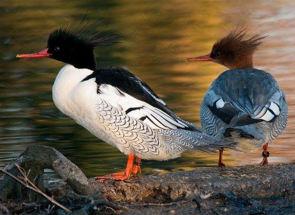 Самка и самец утки Крохаль