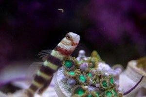 Самая маленькая рыбка в мире