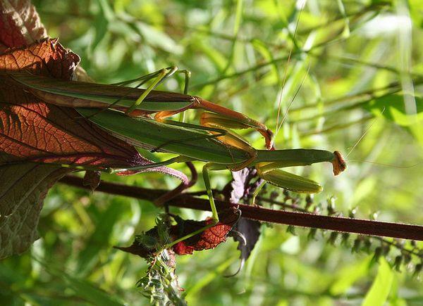 Muški i ženski kineski Mantis