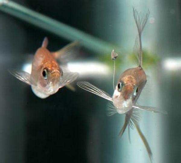 Самцы коринопом (corynopoma riisei) ловят своих самок на удочку