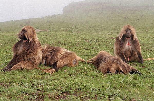 Самцы обезьян принуждают самок к абортам