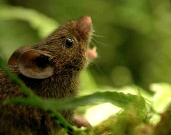 Самцы поющих мышей отпугивают своими песнями непрошенных гостей