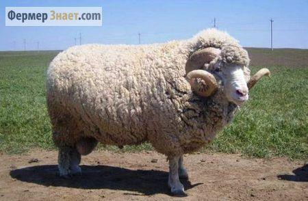 Овцы породы меринос — шерстяные короли