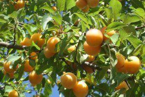 Plodovi sorte