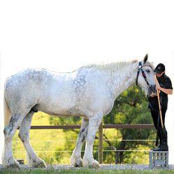 Самые большие лошади в мире: рекордсмены роста