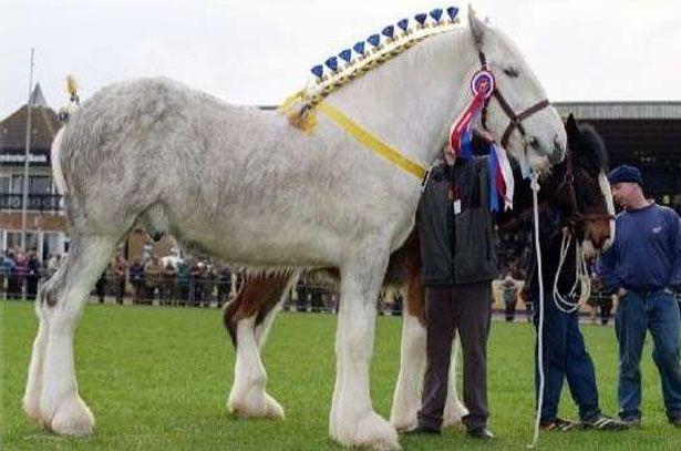 Percheron konje uzgajati - najveći konje