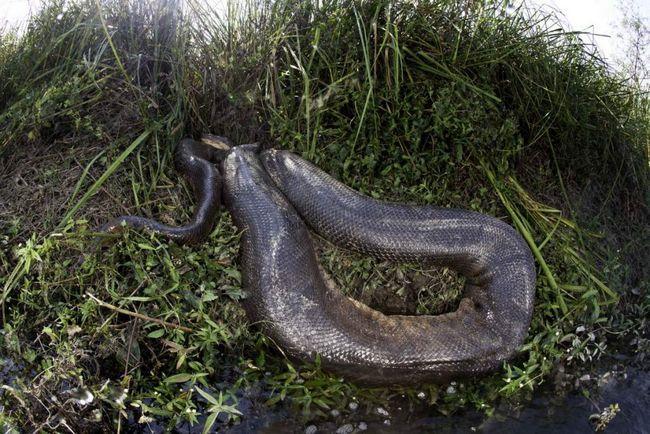 Obří anakonda.