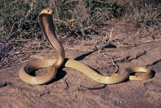 Strašně velký a hrozně jedovatý King Cobra.