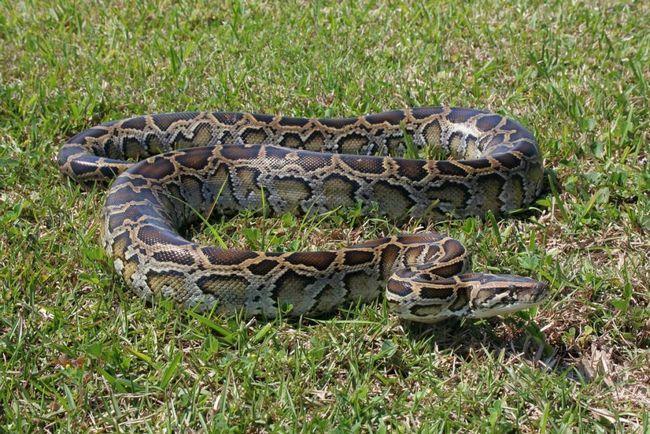 Skála python.