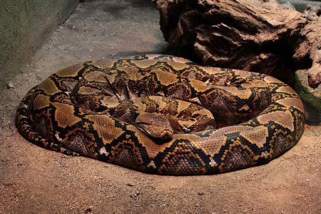 Síťované python.