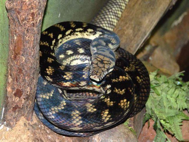 Ametyst python.
