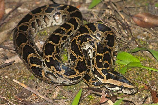 Tmavé tygr python.