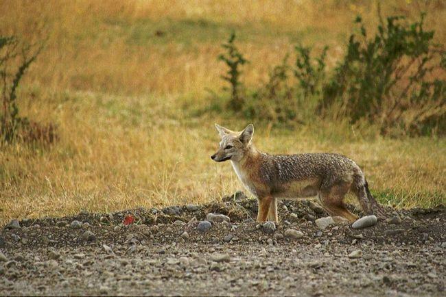 Južne Amerike siva lisica - ljubitelj Rhea jaja.