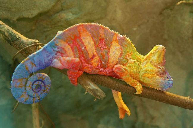 Kameleoni - životinja, vješto koristeći svoje prirodne sposobnosti.