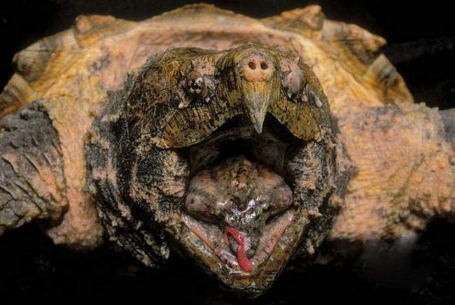 Wormlike jezik aligator škljoca kornjača.