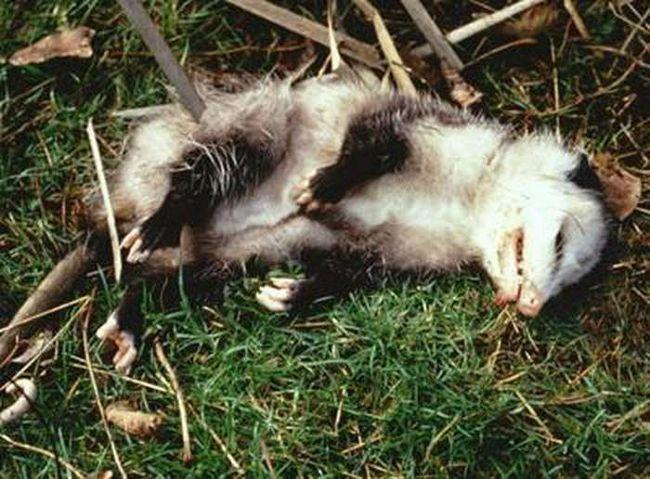 Virginia oposum je pokazao svoju sposobnost da