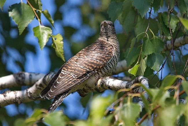 Cuckoo - neodgovorno majka.