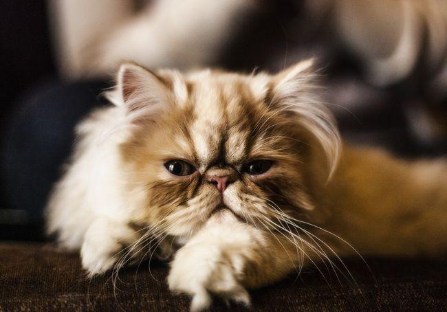 Najpoznatija mačka pasmine