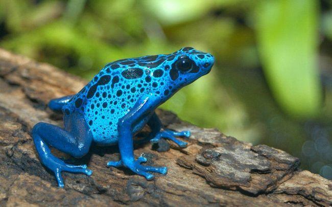 Голубой древолаз (лат. Dendrobates_azureus)