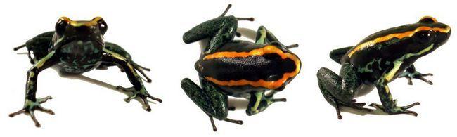 Полосатый листолаз (лат. Phyllobates-vittatus)