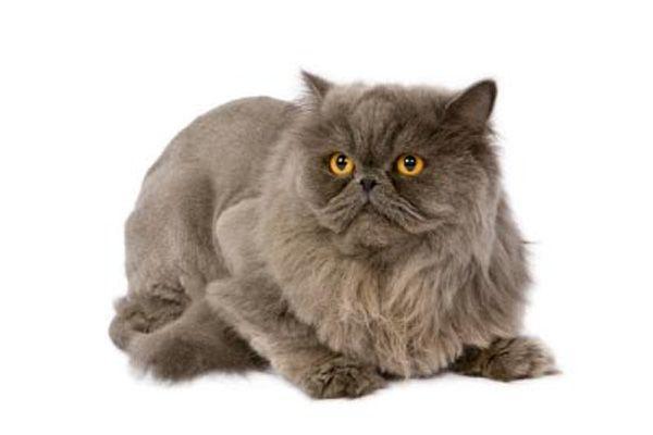 perzijski mačka