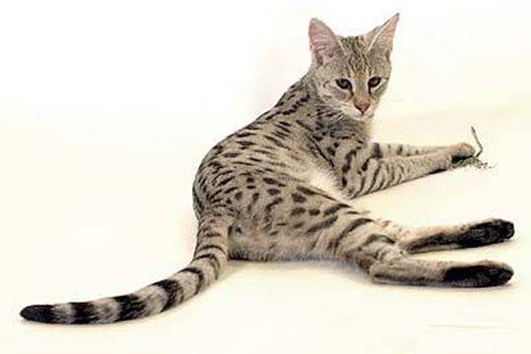 Саванная кошка