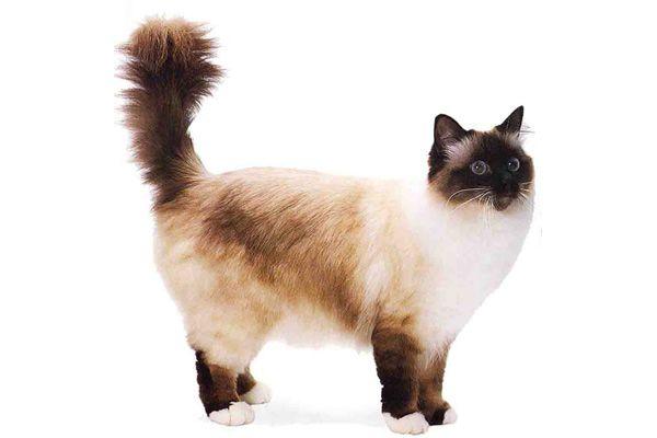 burmanski mačke
