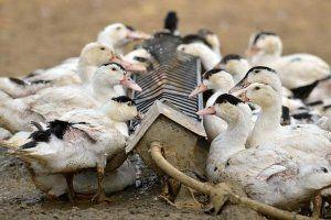 Важно не забывать обновлять запасы воды птиц