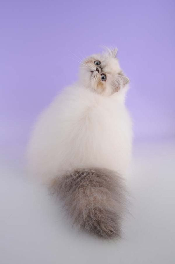 Самые востребованные породы кошек в США