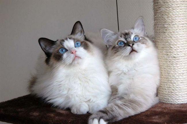 Najpopularnijih rasa mačaka u SAD-u