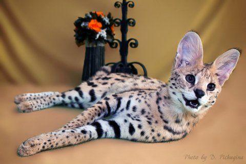 Самый дорогой кот в мире — три элитные породы кошек
