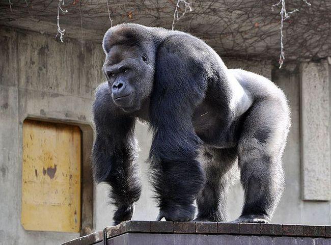 Najljepše muško gorila u svijetu društvenih mreža postao je zvijezda