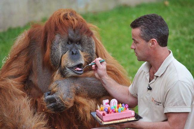 Самый старый орангутан в мире