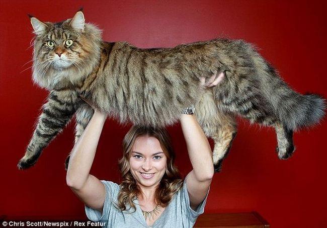 Největší kočka na světě se stal Mainské mývalí pojmenovanou Rupert