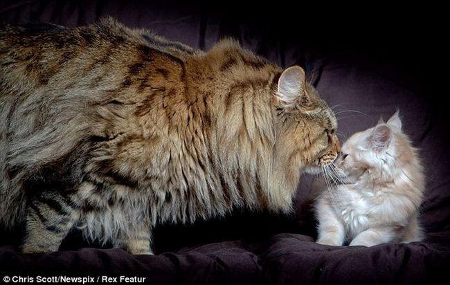 Najveći mačka na svijetu postao je Maine Coon nazvan po Rupert