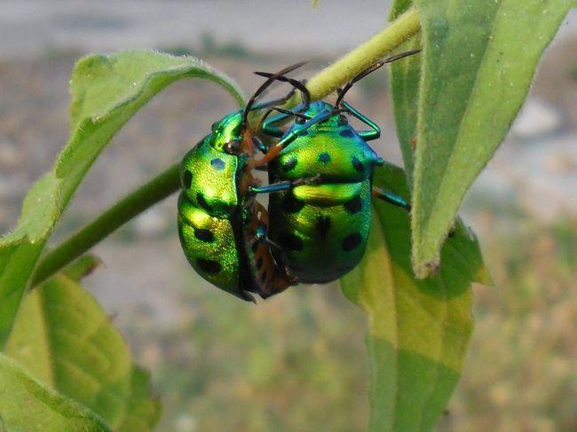 Osim bube otpor, neke vrste ovih insekata su nevjerojatno lijepa.