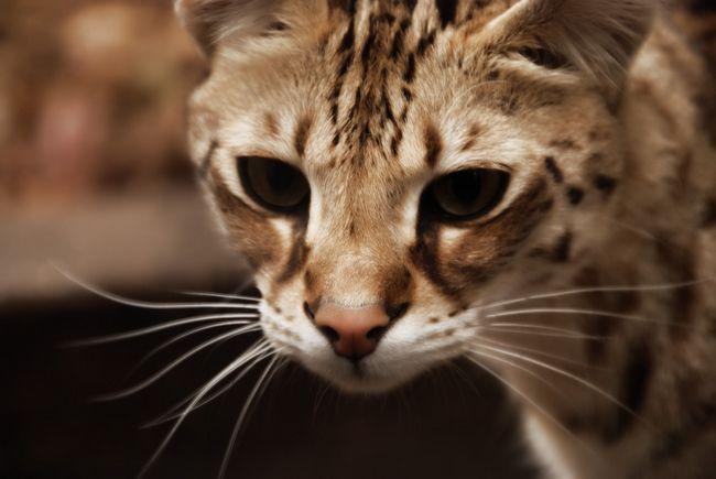 Savannah mačka