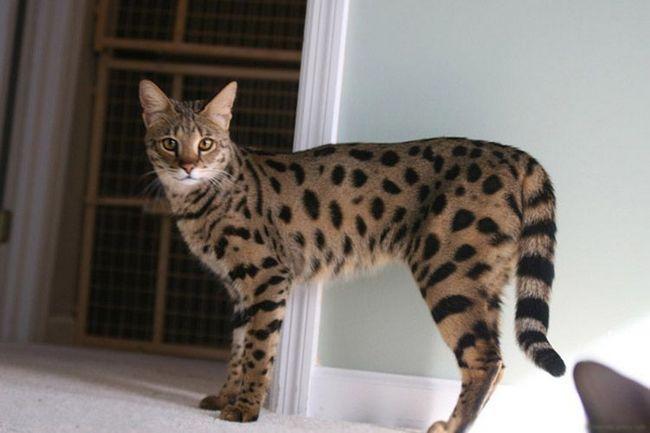 Savannah - tender maca sa osobine divljih srodnika