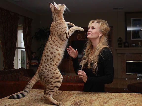 Savannah je zadržala samo pozitivne osobine divljih predaka