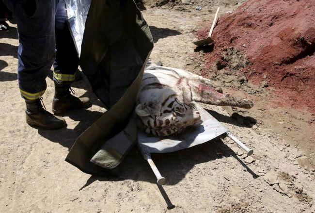 Tigar pobjegao iz zoološkog vrta gruzijski, ubio čovjeka.