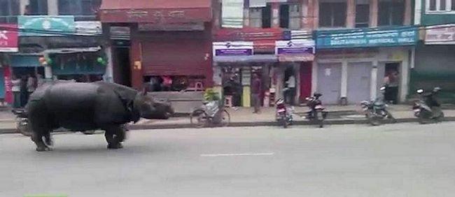 Pobjegli nosorog ubio ženu u Nepalu.